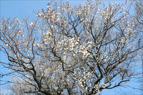 매화 수령 약 40년된 고목의 매화나무에서 꽃이 활짝 피었다.