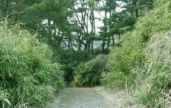 대숲길 죽도의 대명사 대숲길. 뒷산에 대숲길은 솔숲과 어우러져 있다.