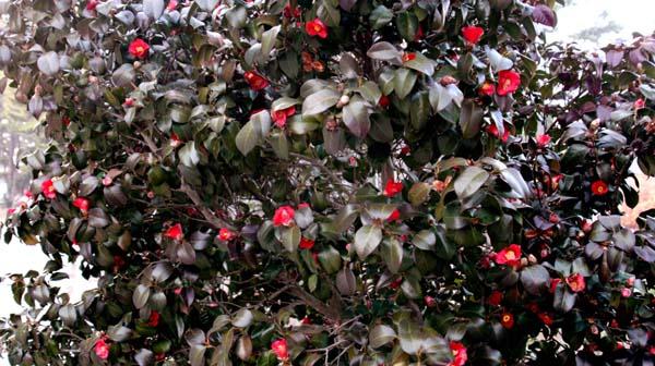 동백 죽도 대숲길 사이 사이에는 동백꽃이 피어있다.