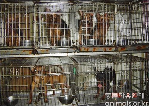 열악한 환경의 번식장. 번식장에서 개들은 체력의 한계점에 도달할때까지 평생 새끼만 낳게 된다. 이들 중 일부가 개식용산업으로 흘러가고 있다는 것은 공공연한 사실이다.