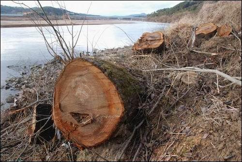 무참히 잘려나간 낙동강변 버드나무. 도대체 이곳에 무슨 일이 벌어지는 것일까요?