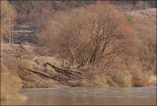 낙동강 생명의 한 축인 버드나무 군락이 사라졌습니다.  강변 버드나무는 물고기와 철새들과 수달 등 수 많은 생명의 보금자리인데....