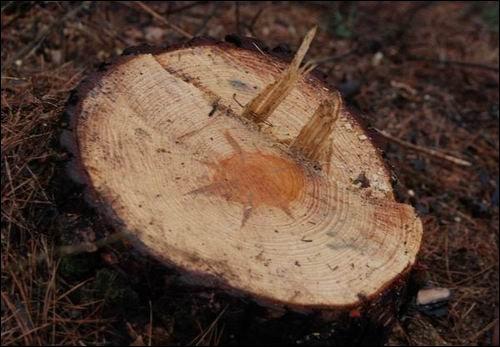50년은 족히 될 소나무... 이곳에 잘려나간 나무들은 보통 이 정도 굵기의 아름답던 나무들이었습니다.