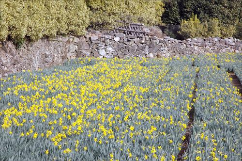 수선화 2천여 평의 수선화밭 다음주면 밭 전체가 노란 물결로 춤출것만 같다.