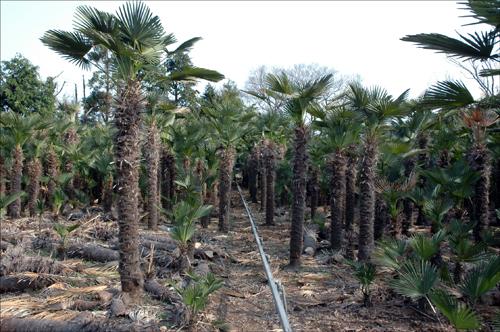 종려나무 숲 종려나무 숲속길을 거닐고 싶다. 가운데 보이는 것은 농작업에 필요한 모노레일이다.