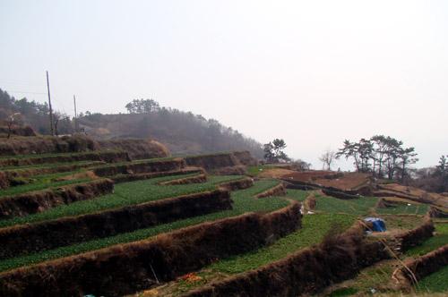 경남 남해 다랭이 마을 논에는 벼 대신 마늘이 자라고 있었습니다.