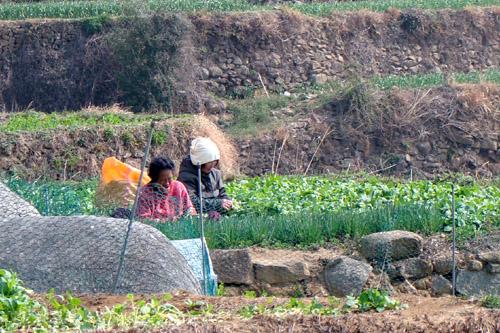 밭에서 일하는 할머니들.