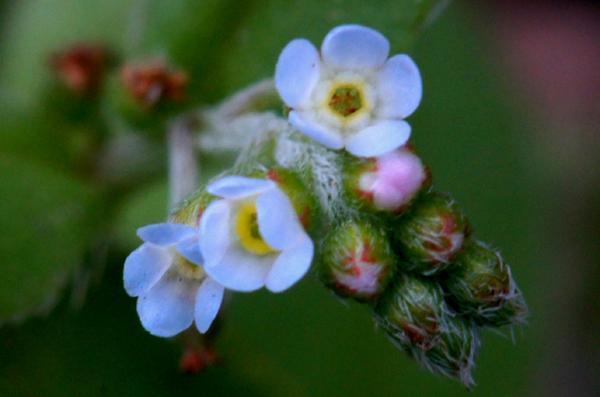 꽃마리 .