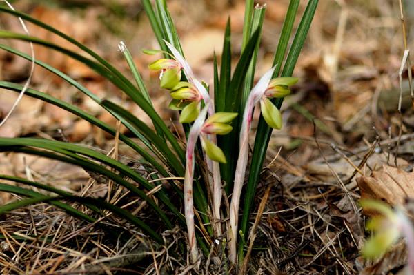 봄을 알리는 꽃 보춘화 .
