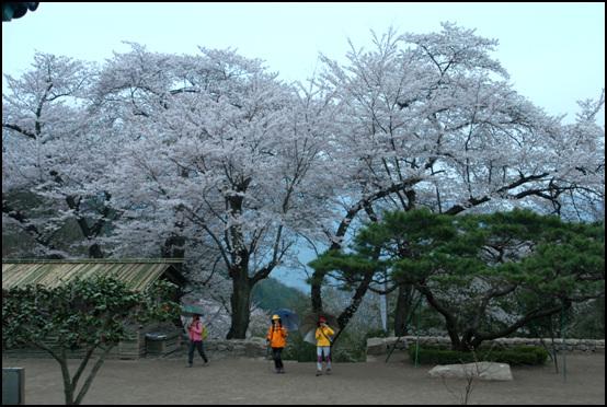 벚꽃이 만개한 경내 모악산 대원사 주변에는 수령이 300년 이상이 되었다는 산 벚꽃나무들이 아름답게 꽃을 피운다.