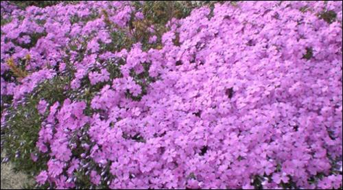 꽃잔디 용암리 전원주택에 만개한 꽃잔디