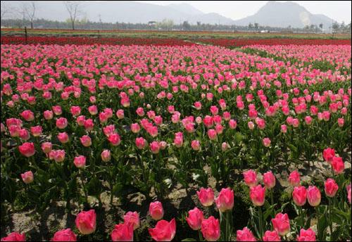 임자도 튤립 밭은 드넓다. 골마다 층층이 다른 꽃 색깔을 뽐내도록 심어 현란한 느낌마저 준다.