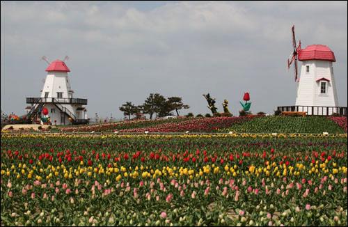 형형색색으로 핀 튤립과 어우러진 풍차가 이국적인 섬 풍경을 선사한다.