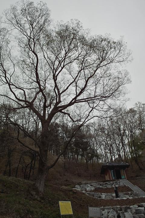 청룡사의 보호수 150년된 느티나무. 안산의 보호수는 대부분 이 정도 나이입니다. 수암 쪽은 역사가 깊은 만큼 더 오래된 나무가 몇 그루 있지요. 하지만 철저한 개발 도시 안산의 다른 곳에서는 100~200년 정도 된 나무도 찾아보기 어렵습니다. 그나마 그런 나무가 서 있는 곳은 개발에서 소외된 곳, 옛 마을이 있던 자리들뿐이지요. 그래서 더더욱 노거수를 찾아보기 힘듭니다. 현재 보호수로 지정된 노거수는 20그루 정도인데 더 찾아보아야 하지 않을까 합니다. 물론 저 혼자 멀찌감치 떨어져 있는 나무가 아니라 사람과 함께 어울려 그늘도 주고 푸르름과 단풍도 안겨 주는 나무로요.
