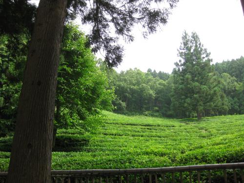 진입로에서부터 한가득 펼쳐져 있는 녹차밭.
