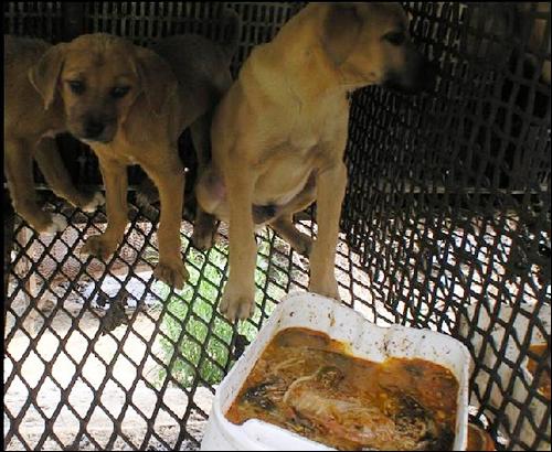 보신탕용 육견은 바닥에 구멍이 숭숭 뚫린 뜬장에서 키워진다. 어린 강아지들이 스트레스를 받으며 불편하게 앉아 있다. 먹이는 인근 식당에서 구해온 음식 쓰레기를 먹여서 키운다.