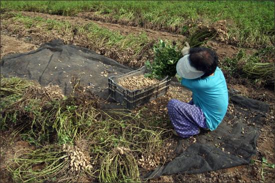 땅콩 수확하는 할머니