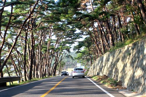안면도 소나무숲길 안면도하면 안면송이라고 불리우는 아름다운 소나무가 있다.