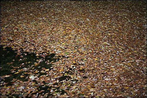 장안산 무리를 이룬 물 위의 낙엽들, 모두 어디로 갈까?