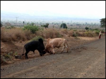 소싸움 차를 위한 도로는 당나귀를 위한 도로이기도 하고, 소의 싸움판이기도 하다.