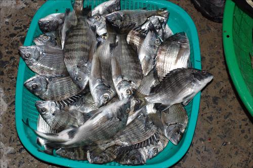 은빛 감성돔 다어상 1위를 기록한 15.44킬로그램의 감성돔. 마리수로는 약 80여 마리.