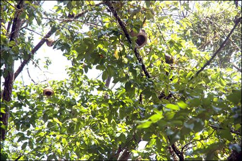 """몽키폿트리 """"현명한 늙은 원숭이는 단지에 손을 넣는 것에 집착하지 않는다.""""라고 하는 정글 지역 속담에서 유래했다는 이름을 가진 나무."""