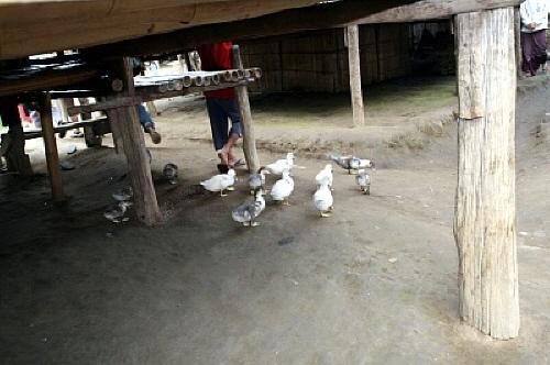 여기저기 돌아다니기 바쁜 닭들 대체 누구네 닭들일까?