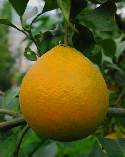 황금과일로 불리는 황실(베니마돈나)- 수확 1개월 전 황금빛으로 착색돼 유명배우의 자태를 연상케 한다.