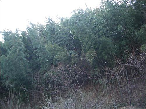 할아버지 집 바로 위에 있는 대나무밭. 4천 평 넓이란다.