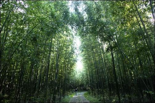 이렇게 아름답던 대나무 습지가 이명박 대통령의 4대강사업 덕에....