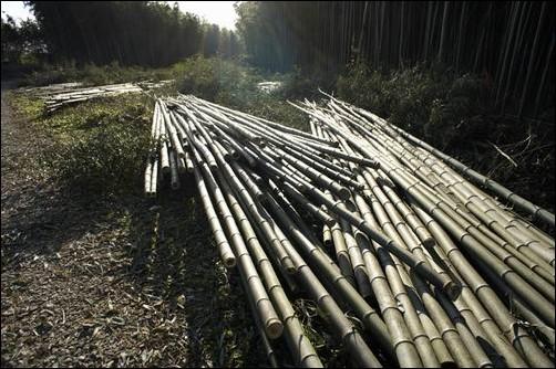 야생동물의 보금자리요, 아름답던 대나무 습지가 끔찍하게 잘려나갔습니다. 그런데 4대강 홍보 책에는 대나무 숲은 되살린다고 뻔뻔스레 거짓말하고 있습니다.