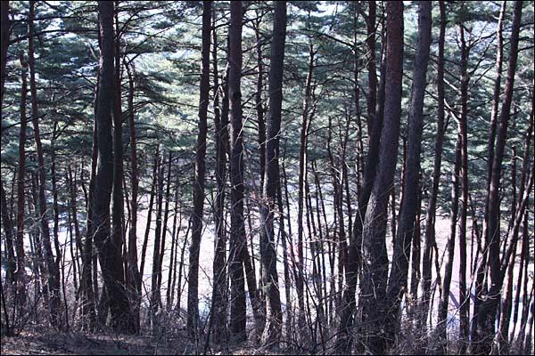 소나무 숲이 아니라 소나무 바다다.