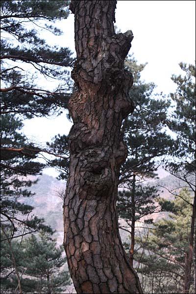 소나무에도 표정이 있다.
