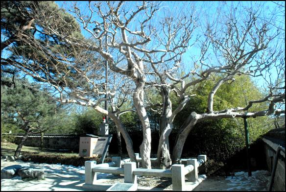 배롱나무 신사임당 나무라고 부르는 수령 600년의 배롱나무