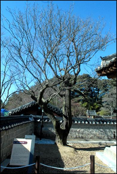 율곡매 천연기념물로 지정이 되어있는 매화나무. 율곡 이이선생과 어머니 신사밈당이 관리를 했다고 전해진다.