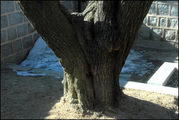 매화나무 수령이 600년으로 전해지는 이 매화는 오죽헌을 지은 최치운이 심었다고 한다