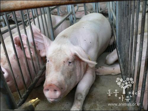 앉았다 일어나는 정도의 움직임만이 허용되는 어미돼지의 스톨. 감수성이 풍부하고 영리한 돼지는 이 스톨 안에서 평생 새끼만 낳게 된다. 2013년부터 EU에서 이 사육방식은 금지된다.
