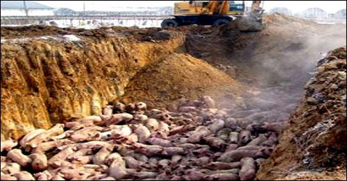 돼지 500여두를 비닐도 깔지 않은 채 매몰했다.