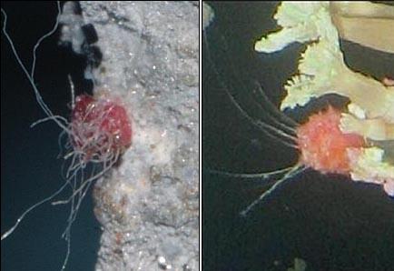 블로거 가을밤이 찍은 사진(좌)과 어린 붉은 멍게(우)  블로거 가을밤이 접사렌즈를 사용해 촬영한 어뢰추진체에 붙어 있는 물체(좌)와 양식업자 A씨가 제시한 어린 붉은 멍게 사진(우)