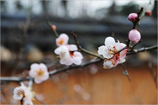 허난설헌 생가 뒷뜰에 핀 살구나무꽃.