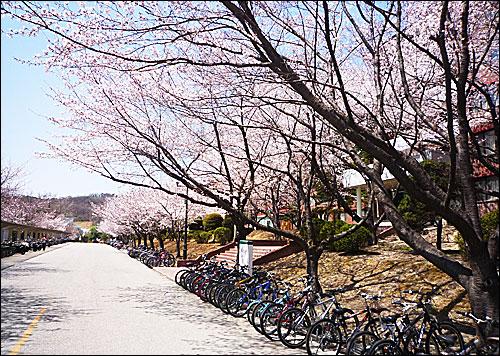 카이스트의 봄날 2011년 4월 11일. 카이스트에 봄이 찾아왔다. 벚꽃이 만개한 카이스트 카이마루 앞 길의 정경.