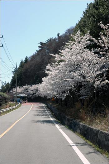 벚꽃길 화사함이라는 단어는 벚꽃에 어울린다는 생각이다.