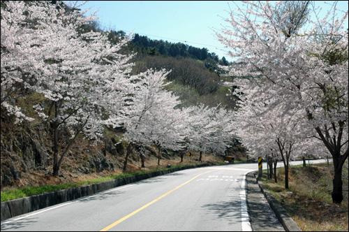 벚꽃길 정말로 화사한 벚꽃길이다.