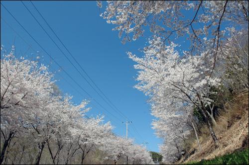 벚꽃길 푸른 하늘과 벚꽃이 대조를 이룬다. 정말 멋있는 풍경이다.