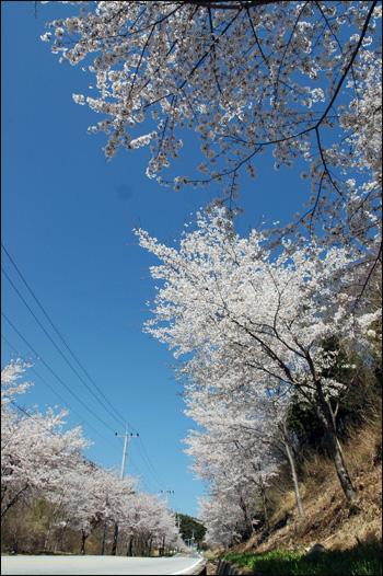 벚꽃 하늘 길 벚꽃 하늘 길이 열려있다. 푸른 하늘과 닿아 있는 벚꽃은 천국을 인도하는 느낌이다.