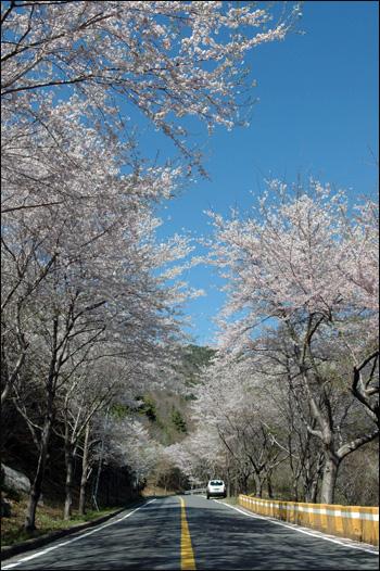 벚꽃길 구천삼거리에서 망치삼거리로 이어지는 벚꽃길이다. 정말 아름다운 길이다. 이디오피아 셀라시에 황제가 원더풀을 일곱 번이나 외쳤던 '황제의 길'에 벚꽃이 피어 있다.