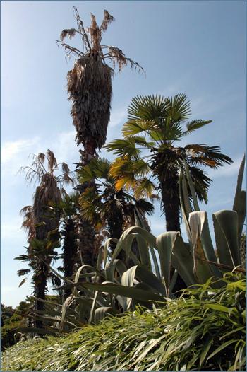 야자수 아열대 식물인 키 큰 야자수와 선인장의 외도의 상징이다.