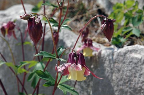 매발톱꽃 다른 꽃의 꽃가루를 더 좋아해서 중국에서 매춘화(賣春花)라 부르는 매발톱꽃. 꽃말은 '바람둥이'라고 한다.