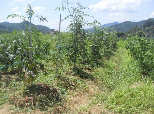 풀과 함께 키운 작년의 텃밭. 풀은 보는 관점에 따라서 농사의 방해물일수도 있지만 어떻게 관리하느냐에 따라서 농사에 도움이 되기도 한다.