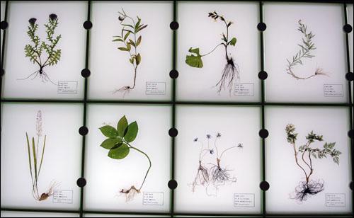 약초 갖가지 약초들. 위 좌측부터 시계방향으로, 엉겅퀴, 등골나물, 곰취, 톱풀, 복수초, 노루귀, 풀솜대, 무릇.